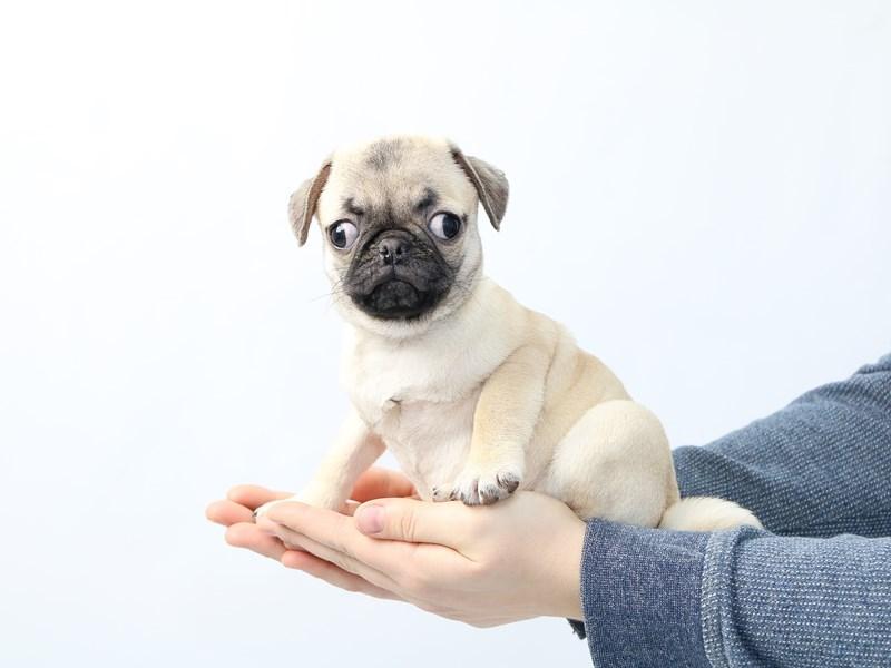 Pug – Persimmon