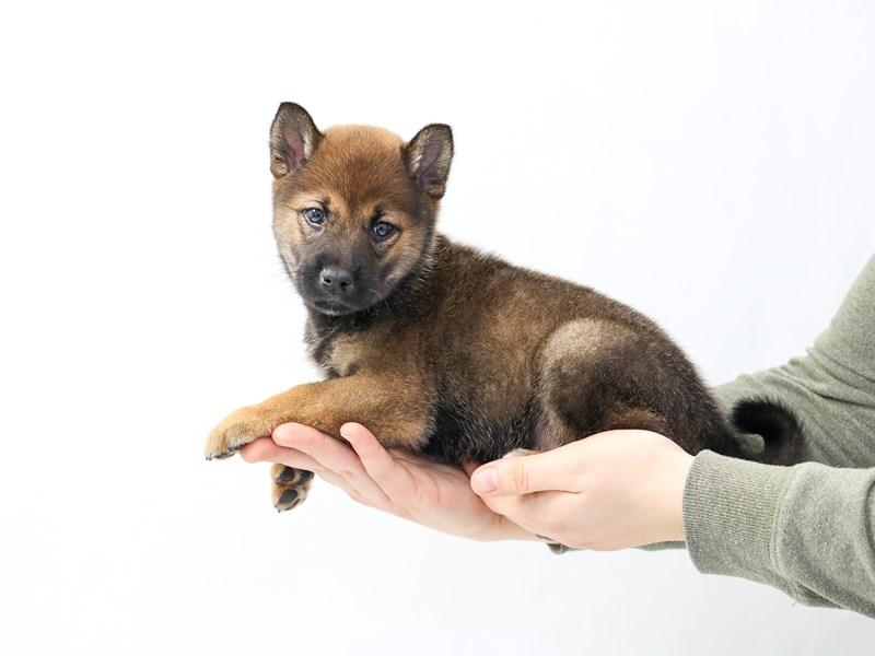 Shiba Inu-Male-Red Sesame-2562328-My Next Puppy