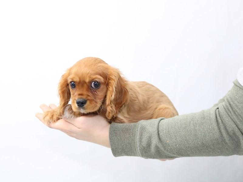 Cavalier King Charles Spaniel-Male-Ruby-2562337-My Next Puppy