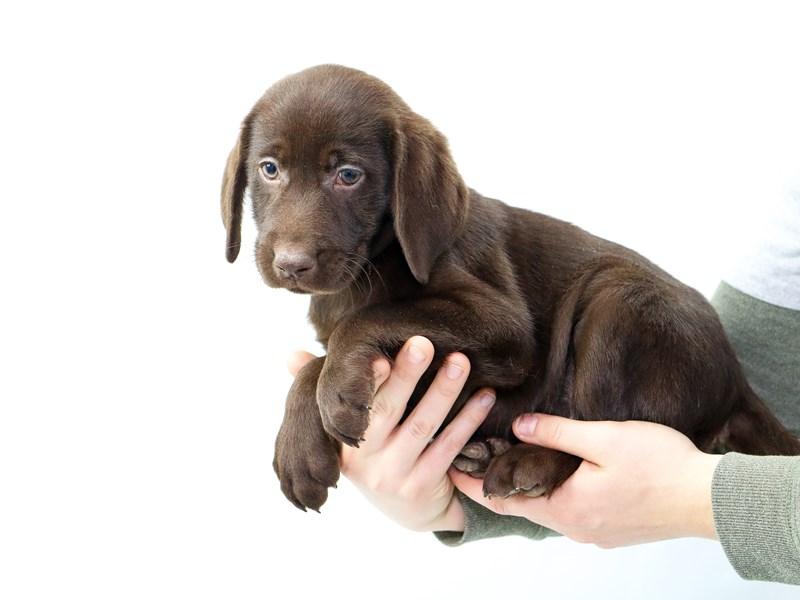 Labrador Retriever – Jada
