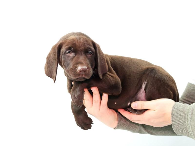 Labrador Retriever – Beau