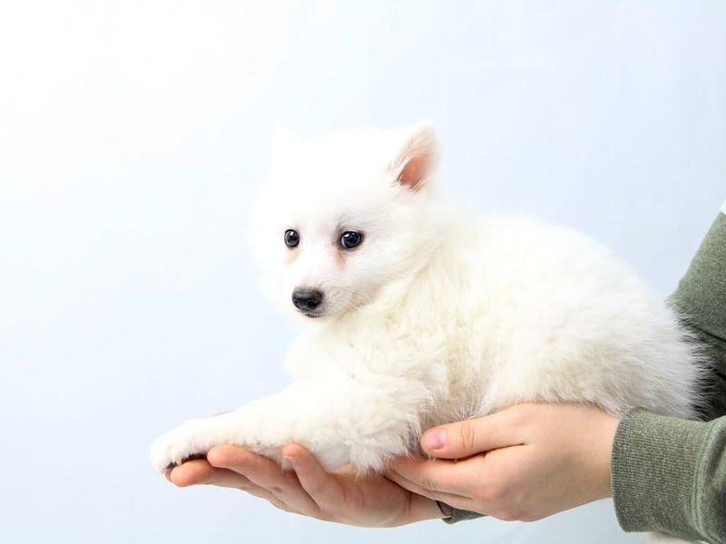 American Eskimo Dog-Male-White-2562358-My Next Puppy