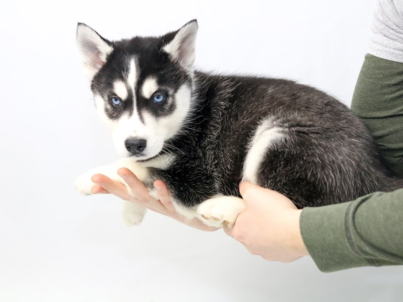 Siberian Husky-Male-Black and White-2565579-My Next Puppy
