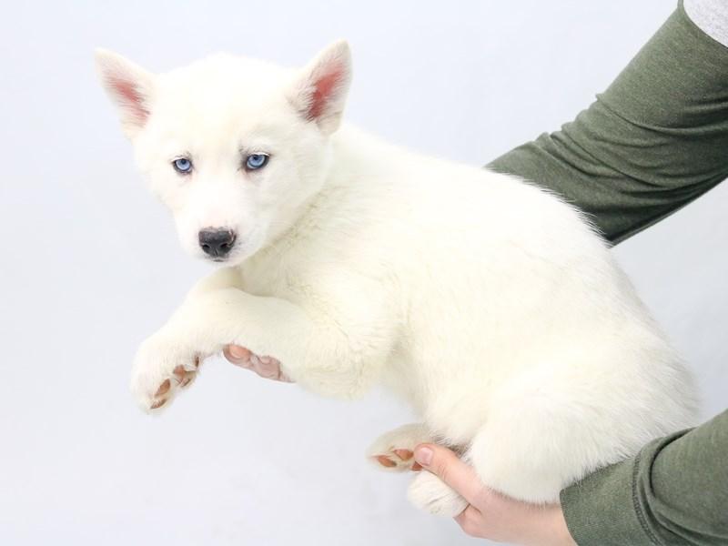 Siberian Husky-Female-White-2565580-My Next Puppy