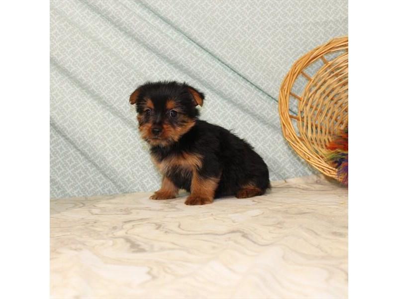 Yorkshire Terrier – Tiffany
