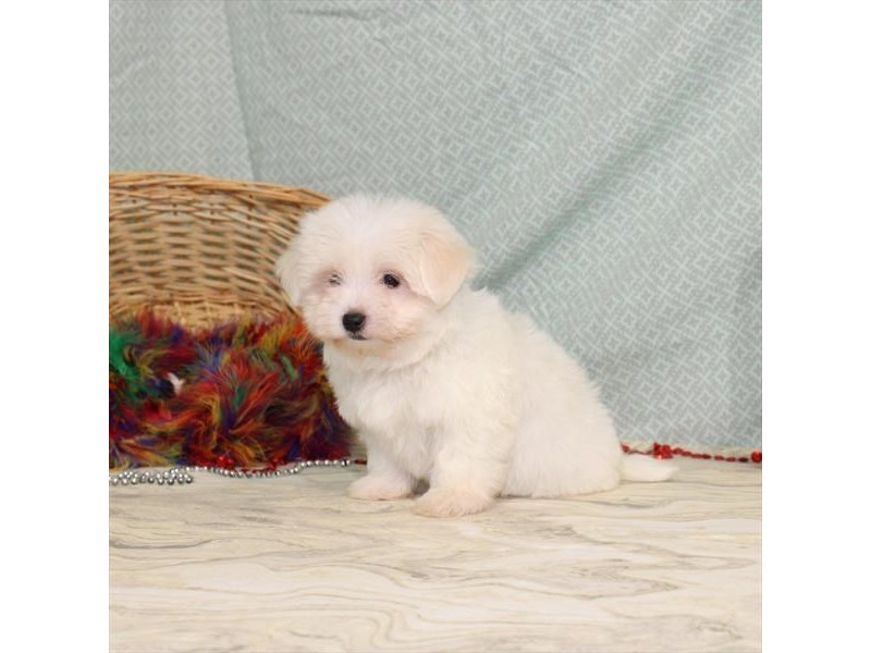 Maltese-Male-White-2575317-My Next Puppy