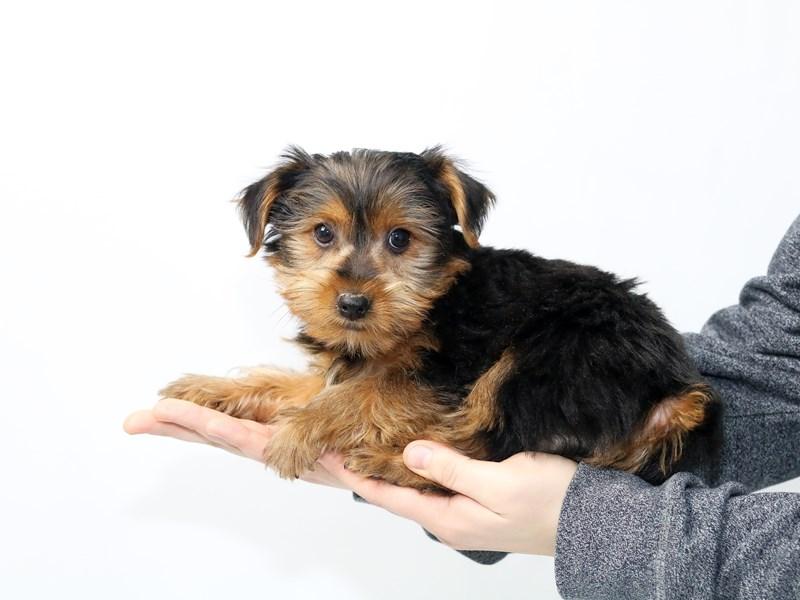Yorkshire Terrier – Lyle