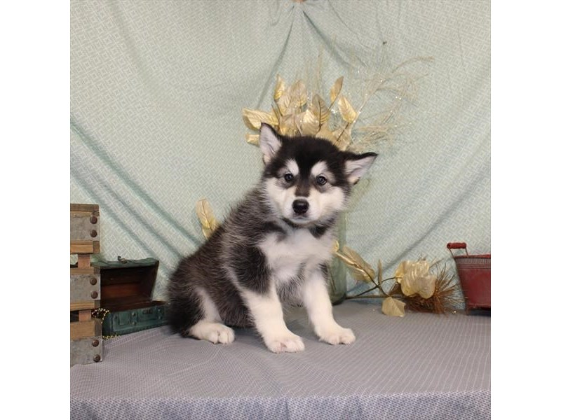 Alaskan Malamute-Female-Black / White-2581461-My Next Puppy
