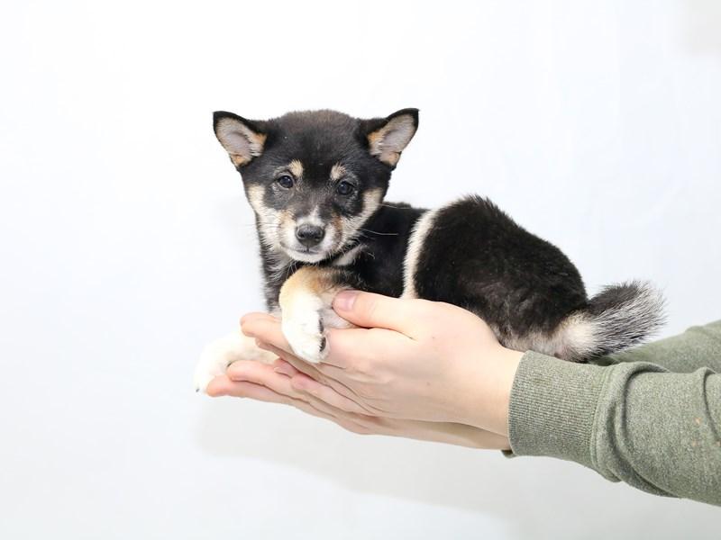 Shiba Inu-Female-Black and Tan-2584273-My Next Puppy
