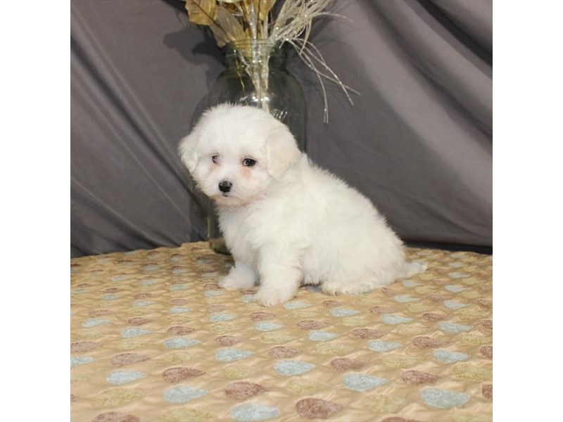 Maltese-Male-White-2587905-My Next Puppy