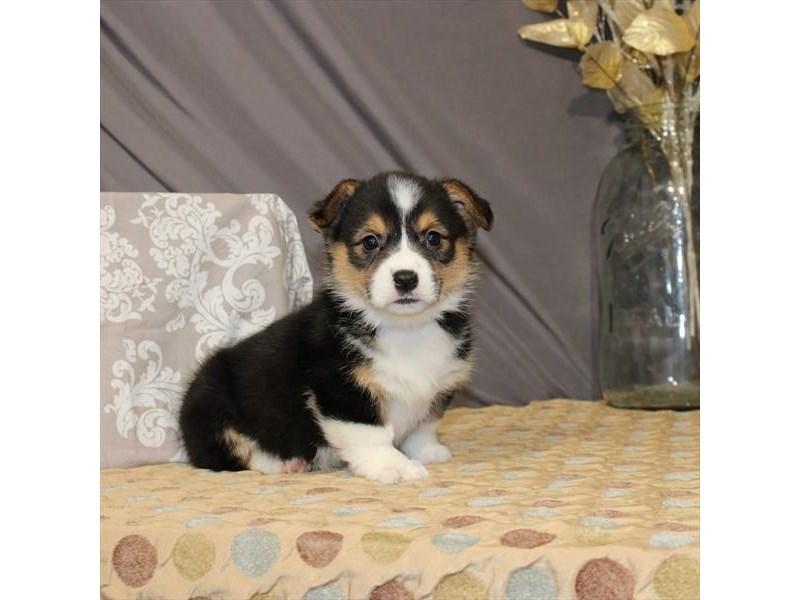 Pembroke Welsh Corgi-Male-Black / Tan-2587907-My Next Puppy