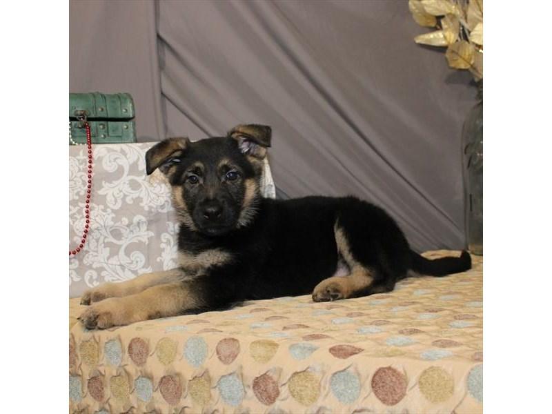 German Shepherd Dog – Sean