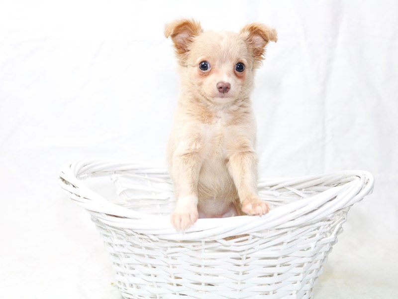 Chihuahua-Female-Fawn/white-2500047-My Next Puppy