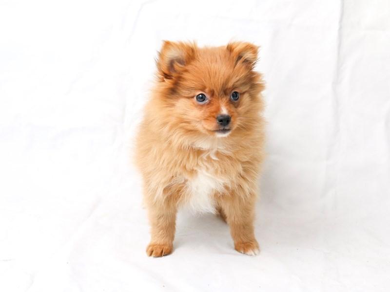Pomeranian – Lucy