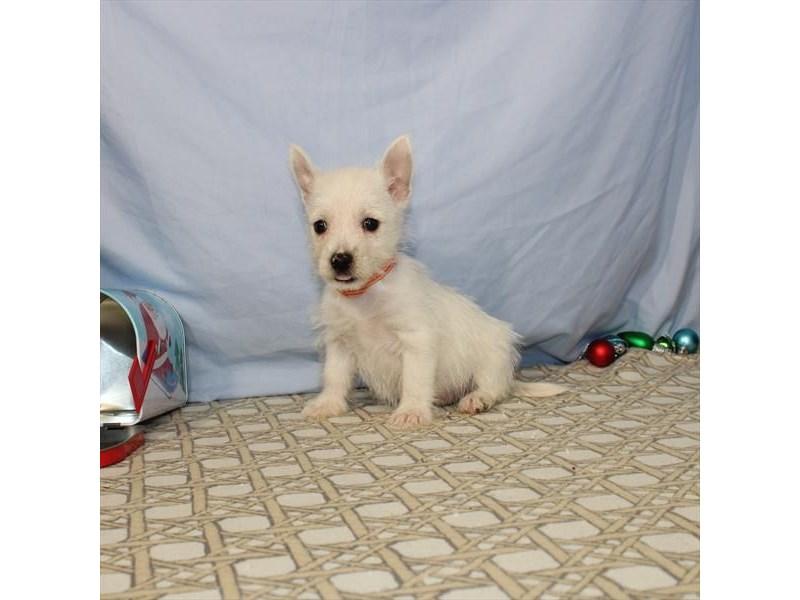 West Highland White Terrier-Female-White-2557668-My Next Puppy