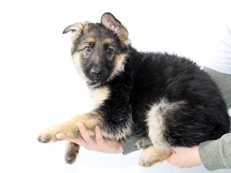 German Shepherd Dog – Mazie