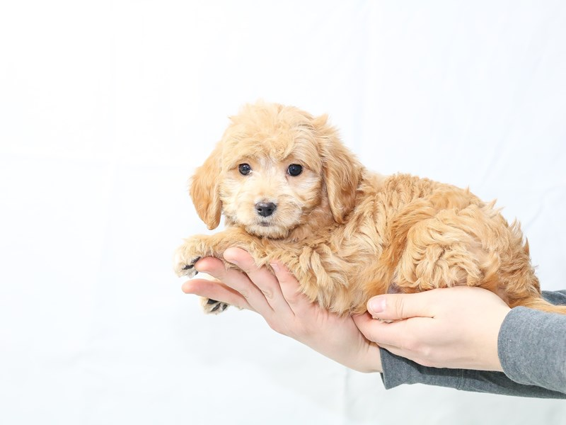 Goldendoodle Mini-Male-Golden-2604409-My Next Puppy