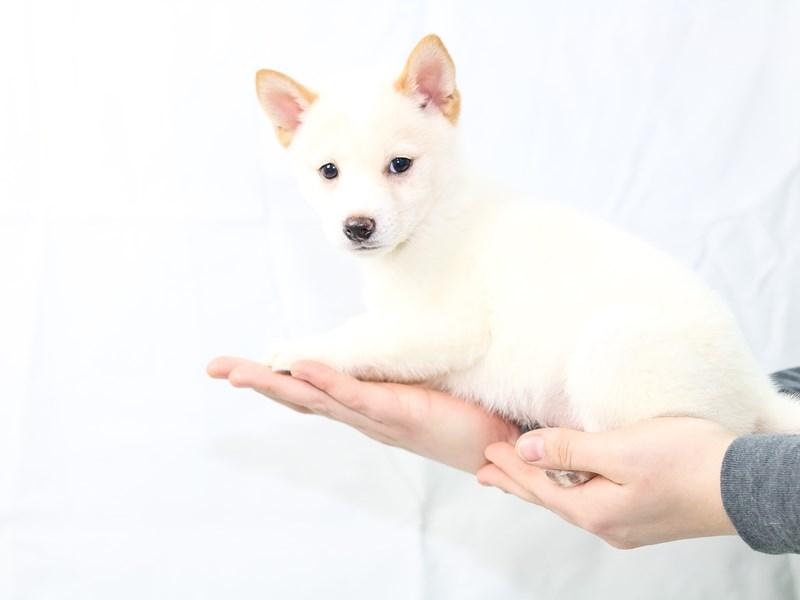 Shiba Inu-Male-Cream-2604410-My Next Puppy
