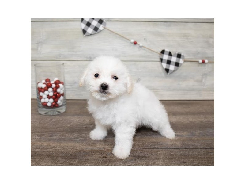 Bichon Frise-Male-White-2611560-My Next Puppy