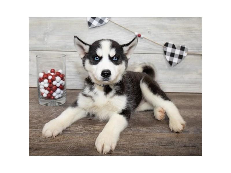 Siberian Husky – Justin