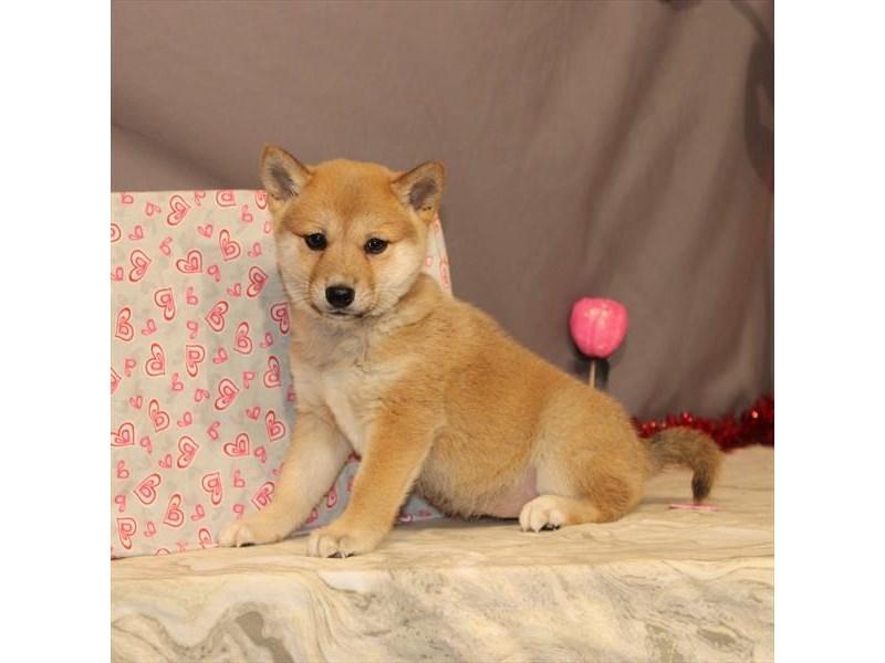 Shiba Inu-Female-Red Sesame-2614376-My Next Puppy