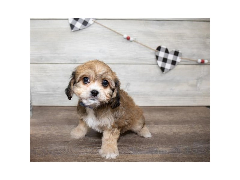 Cavapoo-Female-Sable-2618807-My Next Puppy