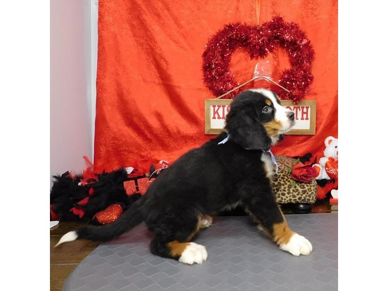 Bernese Mountain Dog-Male-Black Tan / White-2618819-My Next Puppy