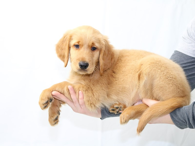 Golden Retriever – Ginger