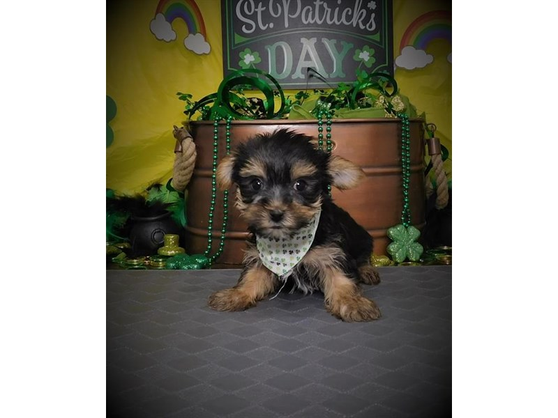 Morkie-Male-Blue / Tan-2632889-My Next Puppy