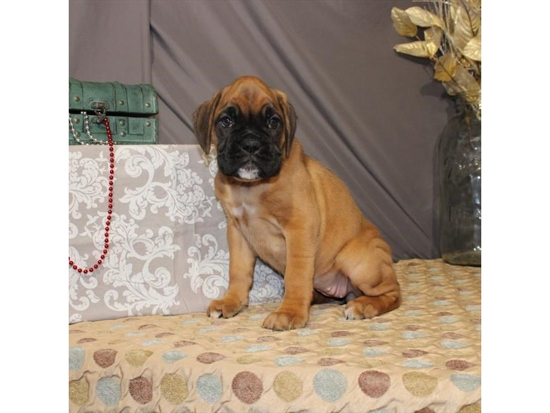 Boxer-Female-Fawn-2587910-My Next Puppy