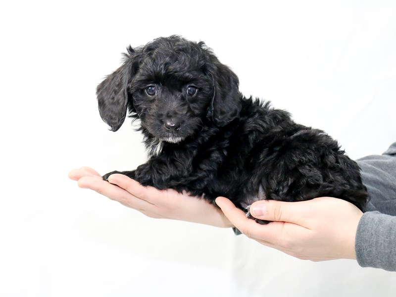 Goldendoodle Mini-Male-Black-2604408-My Next Puppy