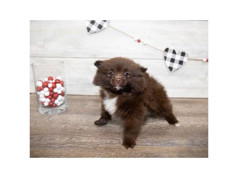 Pomeranian-Female-Chocolate-2611556-My Next Puppy