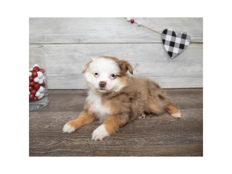 Toy Australian Shepherd-Female-Red-2611557-My Next Puppy