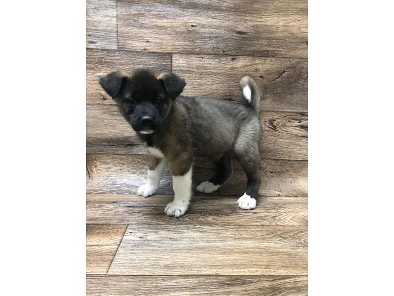 Akita-Female-Fawn, Black Overlay-2611564-My Next Puppy