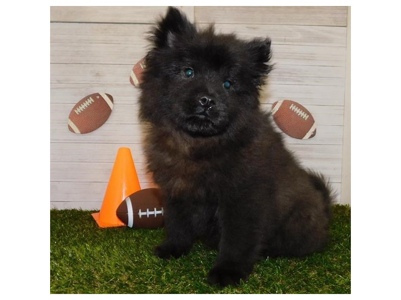 Chow Chow – Bruno