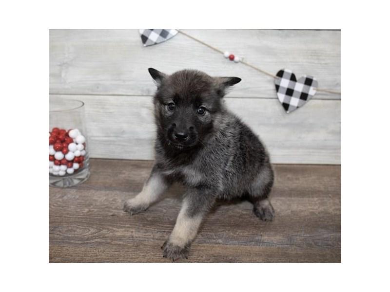 Norwegian Elkhound-Male-Black / Silver-2618806-My Next Puppy