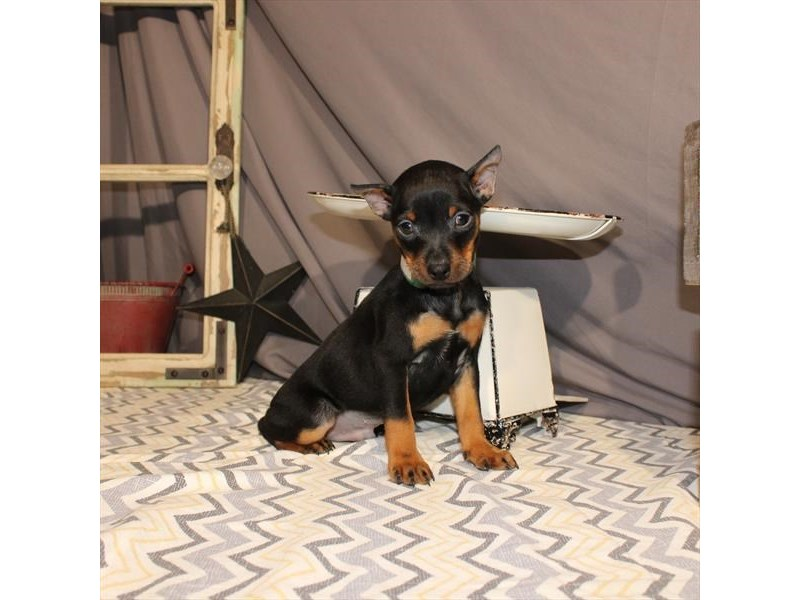Miniature Pinscher-Male-Black / Rust-2618811-My Next Puppy