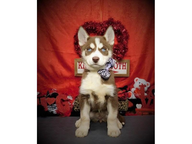 Siberian Husky – Pita