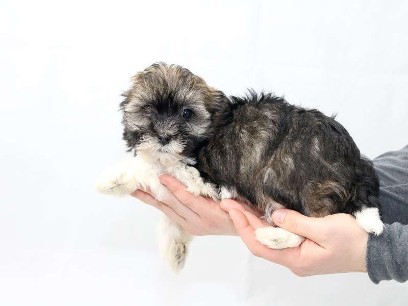 Havanese-Male-Sable Parti-2621693-My Next Puppy
