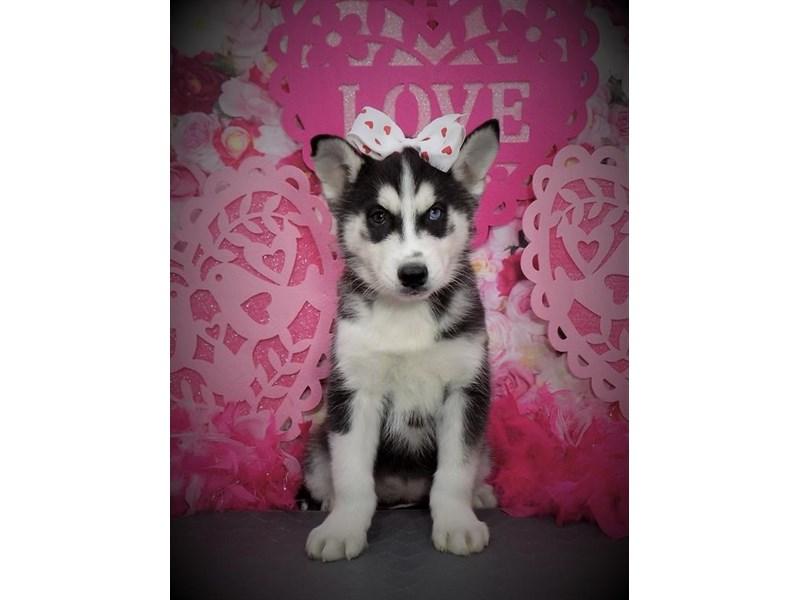 Siberian Husky – Rosa