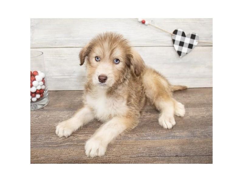Huskipoo-Female-Red / White-2625606-My Next Puppy