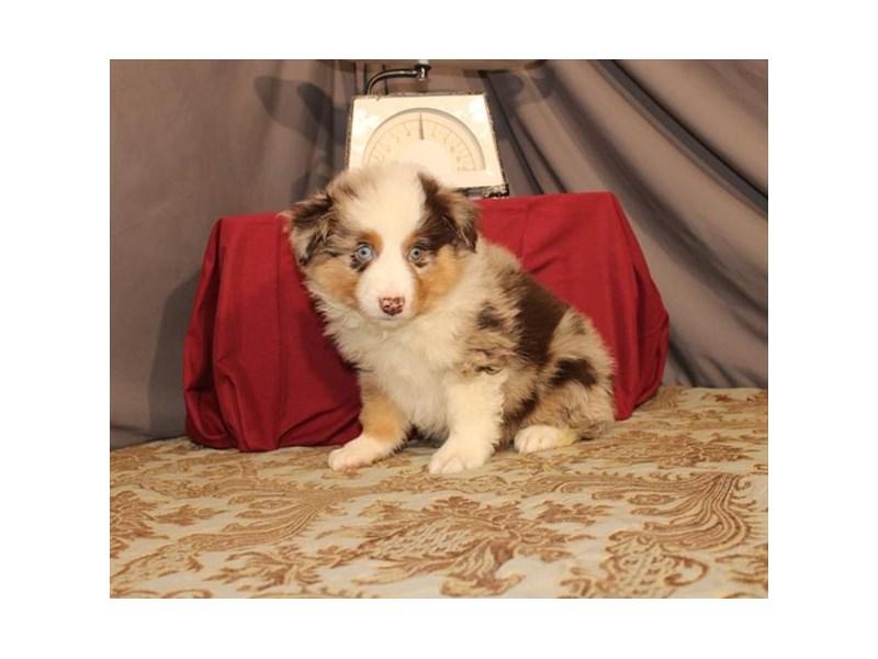 Australian Shepherd-Male-Chocolate Merle-2632694-My Next Puppy