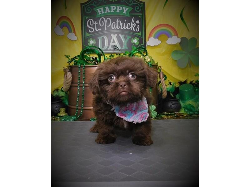 Pekachu-Male-Chocolate-2632706-My Next Puppy