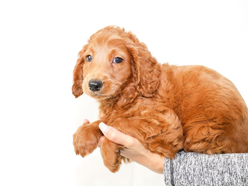 Goldendoodle Mini-Male-Red-2640488-My Next Puppy