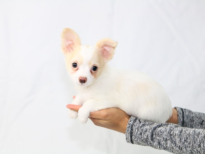 Chihuahua-Male-Fawn-2640494-My Next Puppy