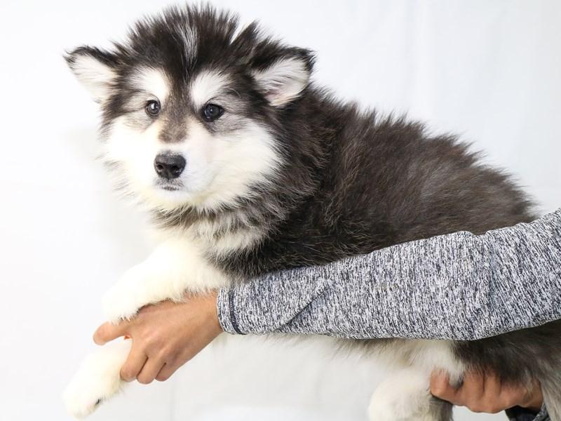 Alaskan Malamute-Female-Black / White-2640481-My Next Puppy