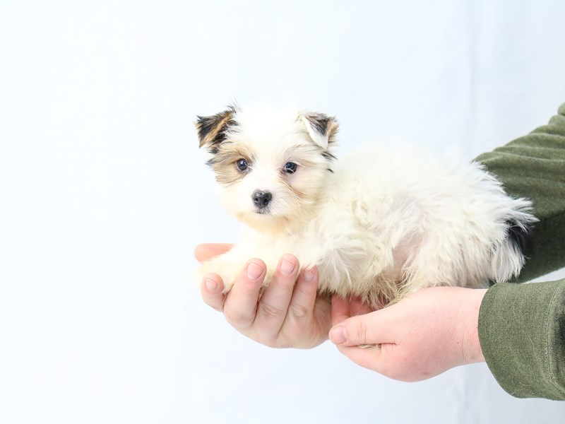 Biewer Yorkshire Terrier – Opal