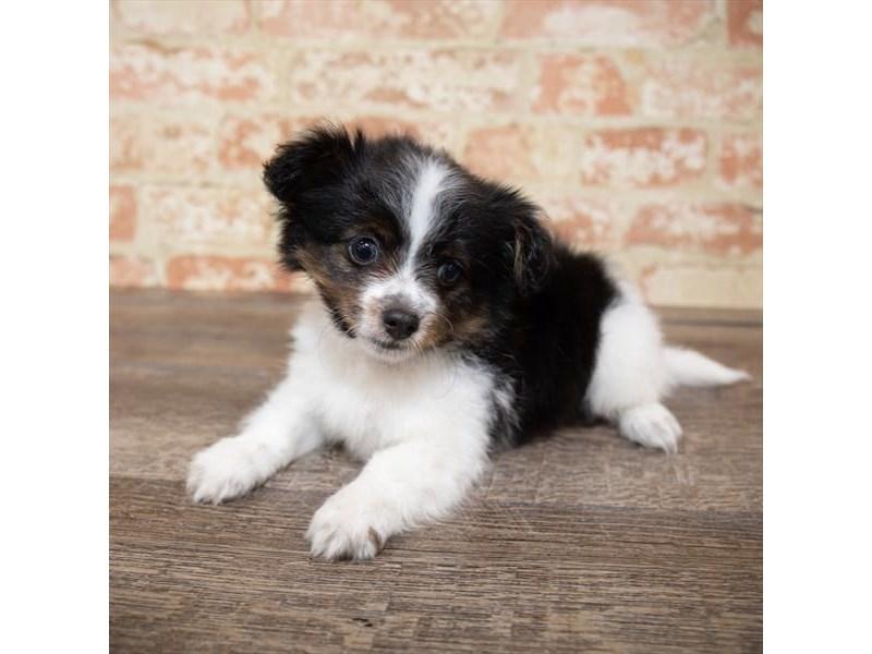 Chihuahua-Male-Black / White-2661936-My Next Puppy