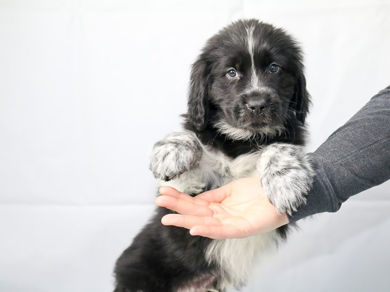 Newfoundland-Male-Black Landseer-2625567-My Next Puppy