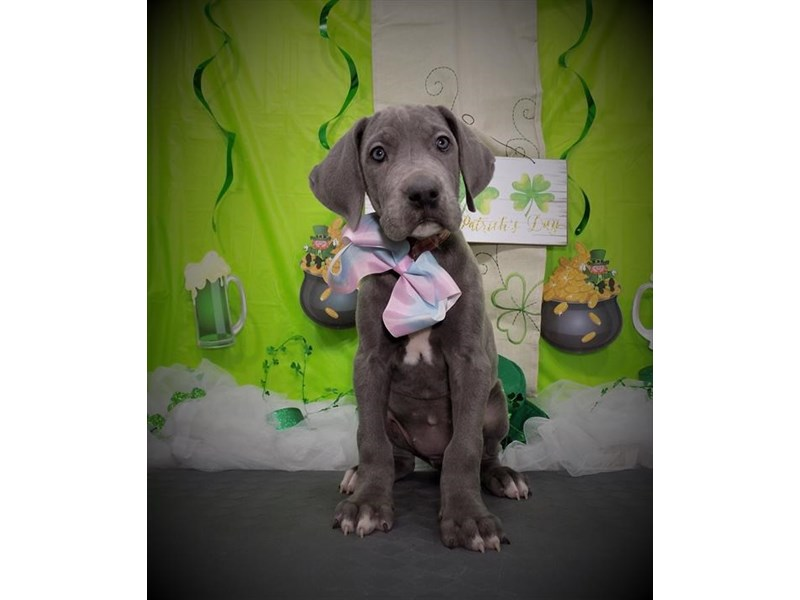 Great Dane-Female-Blue-2632696-My Next Puppy